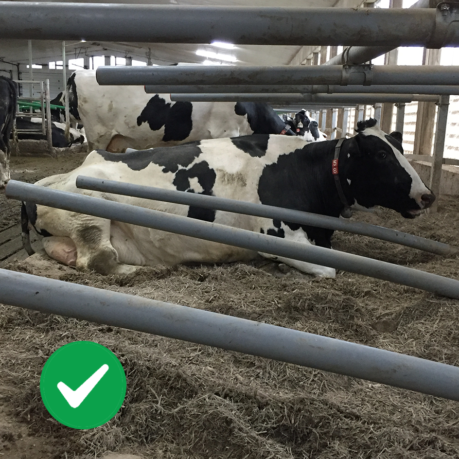Cow positioned properly in GreyFLEX hybrid stall